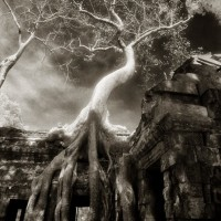 Trees of Angkor